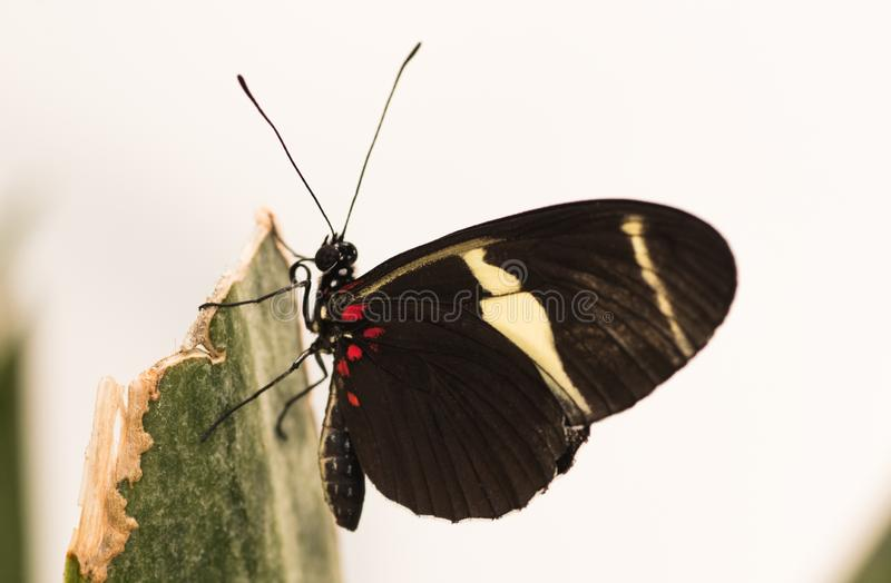 Tropical butterfly. Exotic Black butterfly with white spot. Tropical butterfly. Black butterfly with white spot. Exotic butterfly stock images