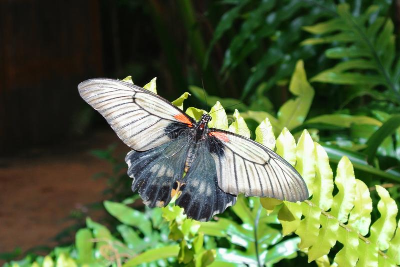 Tropical butterfly Great Mormon Papilio memnon sitting on a gr royalty free stock photos