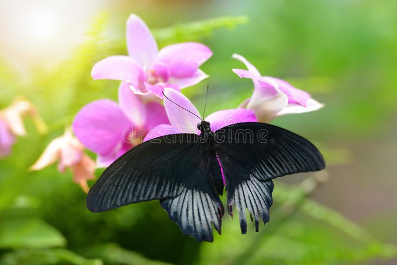 Tropical butterfly Great Mormon Papilio memnon sitting on pink orchid flower. stock photography