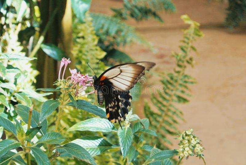 Tropical butterfly Great Mormon Papilio memnon sitting on pink royalty free stock photography