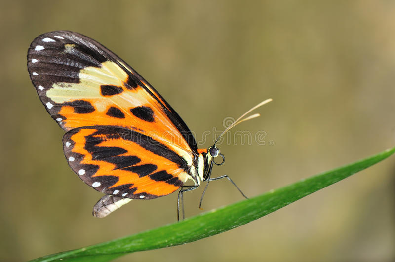 Download Tropical butterfly on leaf stock photo. Image of black - 15927492