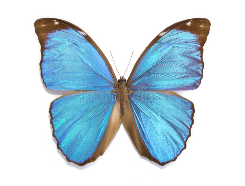 Download Tropical Butterfly Morpho Menelaus Stock Image - Image of biology, white: 39515175