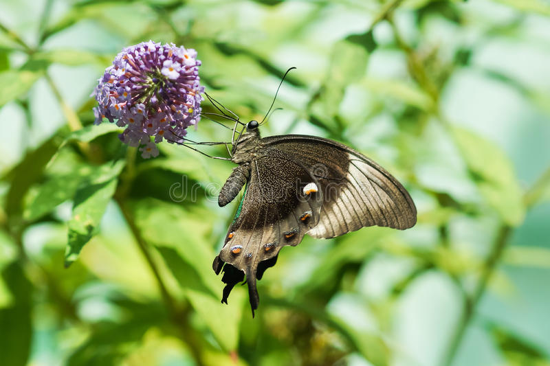 Daily Tropical butterfly Papilio Palinuro lat. Papilio palinurus, no one left on the flower Buddle of David, or mutable lat. Bu stock image