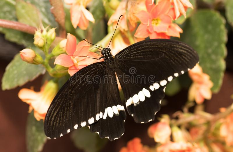 Tropical butterfly Papilio polytes. Black butterfly stock photo