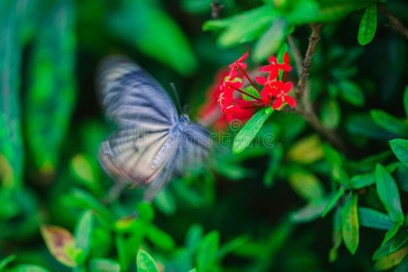 A tropical butterfly pollinates a red flower. The butterfly wings blurred because of fast motion. The plant with red flowers grows in the tropical forest of stock photography