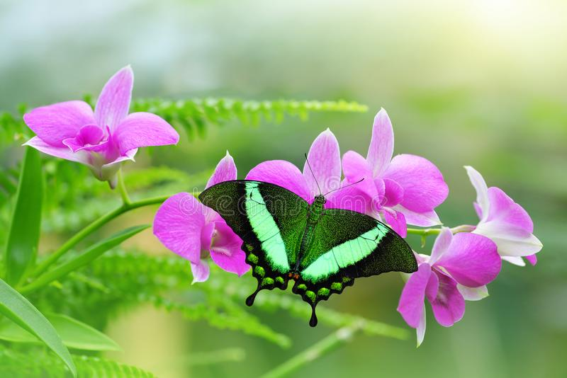 Tropical butterfly resting open winged on purple orchid flower. royalty free stock photography
