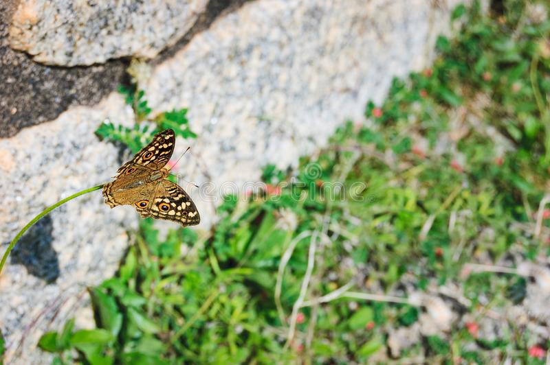A tropical butterfly sits on a blade of grass. On a gray stone wall background royalty free stock photos