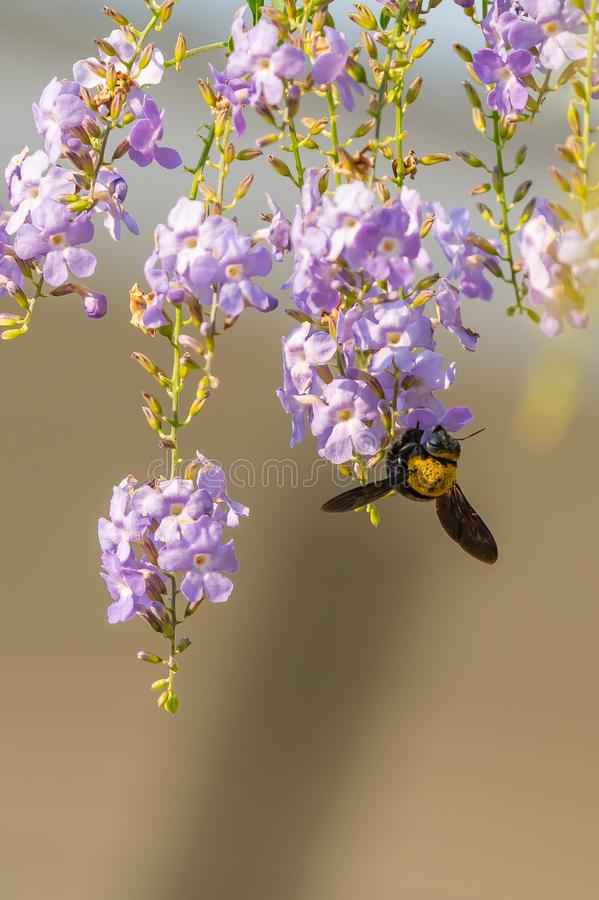 Tropical carpenter bee swarming on Duranta flower royalty free stock image
