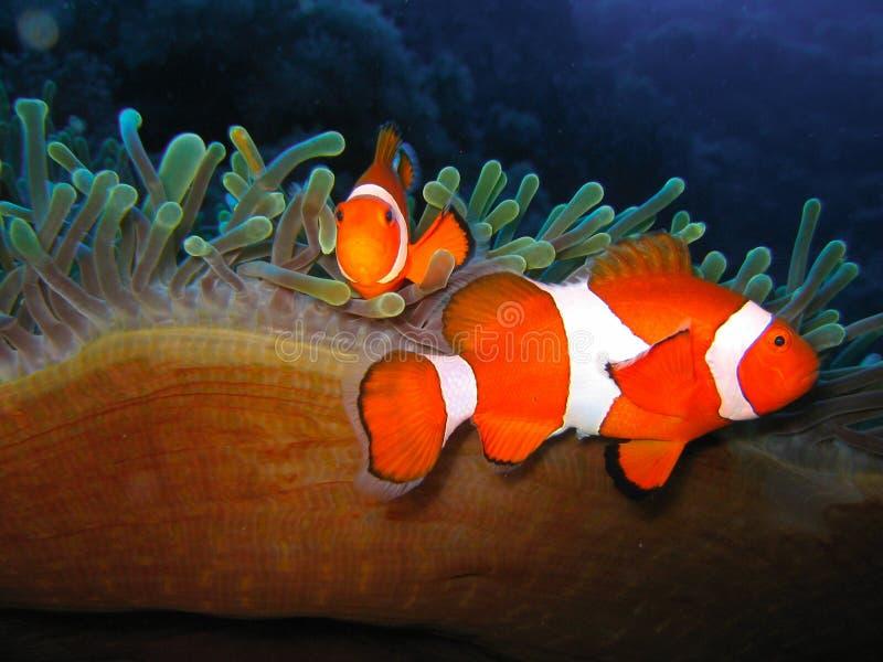 Tropical clown fish family royalty free stock photos