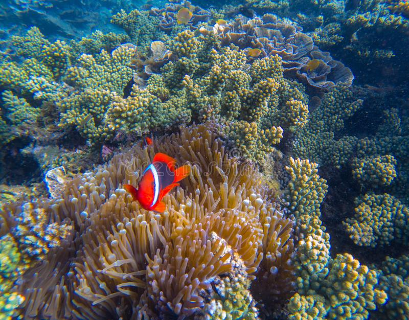 Tropical Clown fish in pink actinia. Red clownfish and sea plant. Orange clown fish with red fins. Cute marine animals. Coral reef species of exotic island royalty free stock photography