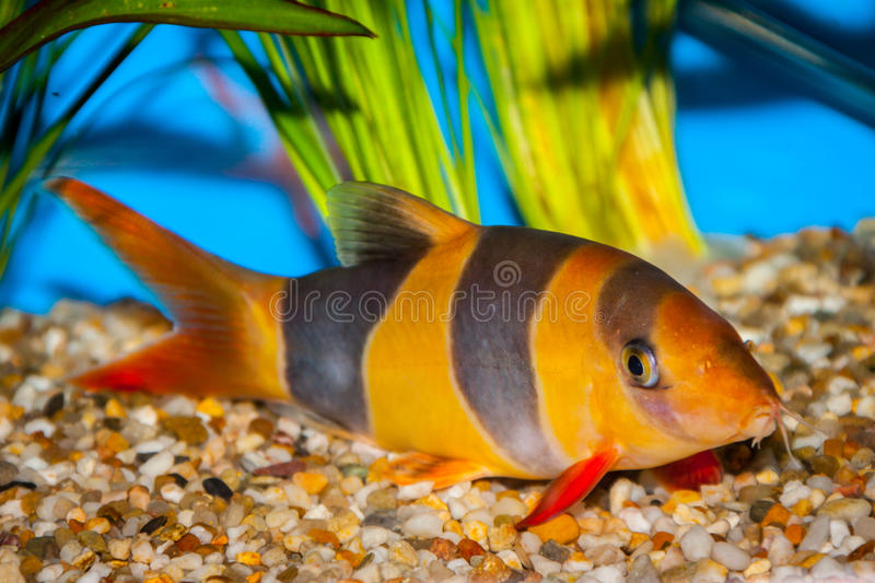 Tropical clown loach fish. Orange and black striped clown loach tropical fish in fish tank on gravel royalty free stock photos