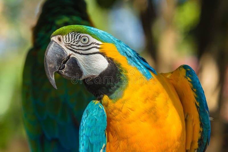 Tropical Cockatoo Bird Parrot. Tropical bird macaw cockatoo parrot closeup feathers colors detail photo royalty free stock images