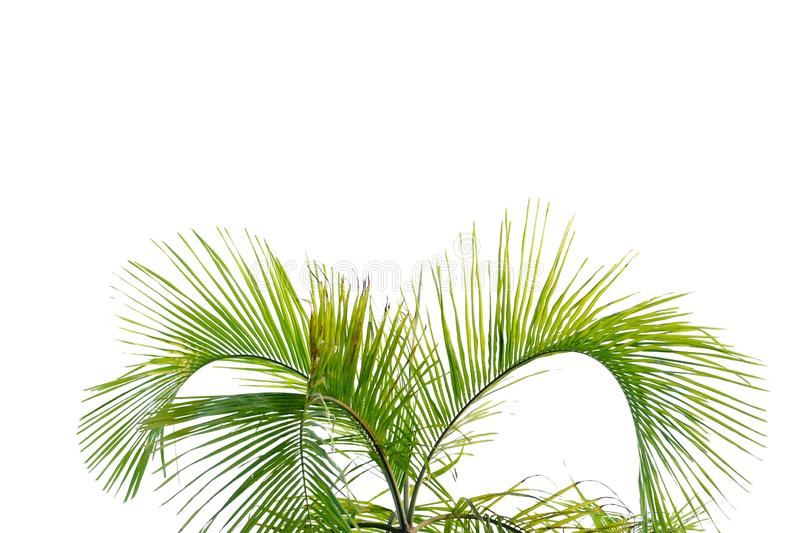 Tropical coconut leave on white isolated background for green foliage backdrop. Tropical plant  leave white isolated background green foliage backdrop stem stock images