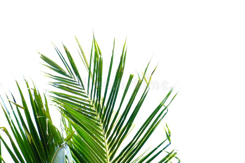 Tropical coconut leaves with branches and sunlight on white isolated background for green foliage backdrop royalty free stock photo
