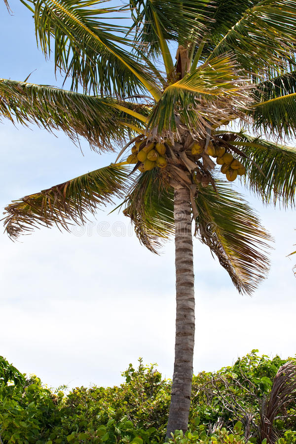 Download Tropical Coconut Palm Tree stock image. Image of island - 18665393