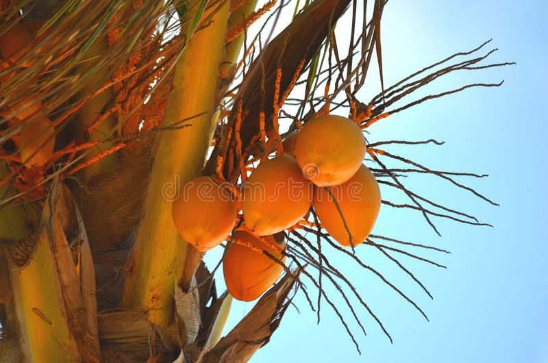 Ripe coconuts Cocos nucifera on a coconut palm tree against clear blue sky in a tropical location. stock images