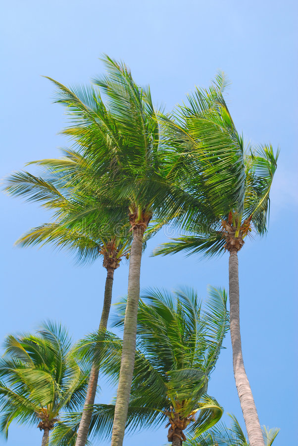 Download Tropical Coconut Trees Stock Images - Image: 9282434