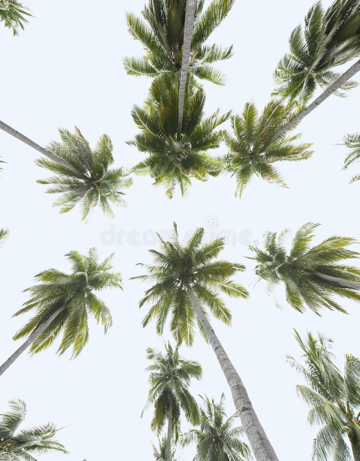 Tropical coconut trees, worm's eye view stock photos