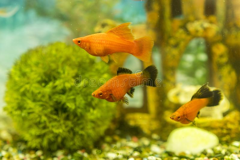 Tropical colorful fishes swimming in aquarium with plants. fish in freshwater aquarium with green beautiful planted tropical.  royalty free stock image
