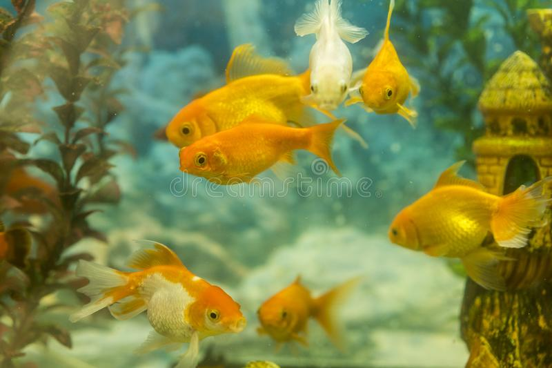Tropical colorful fishes swimming in aquarium with plants. fish in freshwater aquarium with green beautiful planted tropical.  stock images