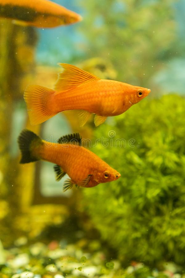 Tropical colorful fishes swimming in aquarium with plants. fish in freshwater aquarium with green beautiful planted tropical. Vertical photo stock photos