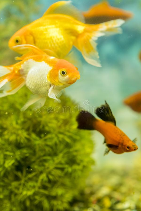 Tropical colorful fishes swimming in aquarium with plants. fish in freshwater aquarium with green beautiful planted tropical. Vertical photo stock images