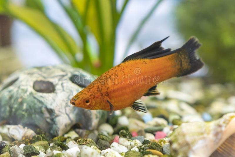 Tropical colorful fishes swimming in aquarium with plants. Goldfish, Carassius auratus, captive. Fish in the aquarium. Lonely fish stock photography