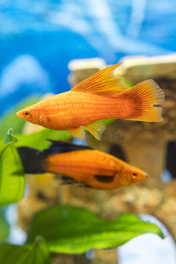 Tropical colorful fishes swimming in aquarium with plants. Goldfish, Carassius auratus, captive. Fish in the aquarium. vertical royalty free stock images