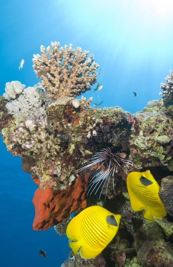 Free Tropical Coral Reef Fish. Royalty Free Stock Images - 16093379