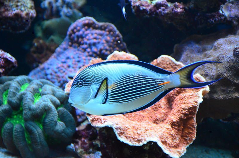 Tropical coral reef fish. In aquarium royalty free stock photo
