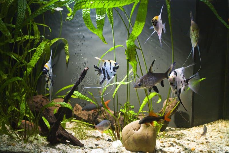Tropical d 39 eau douce d 39 aquarium photo stock image du for Aquarium eau douce