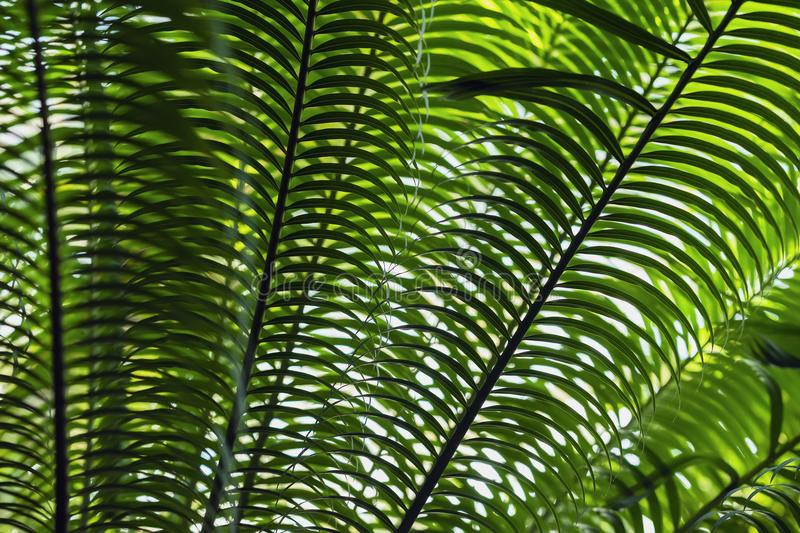 Tropical date palm tree branches close-up with natural light. Abstract texture, natural exotic jungle green background royalty free stock photo
