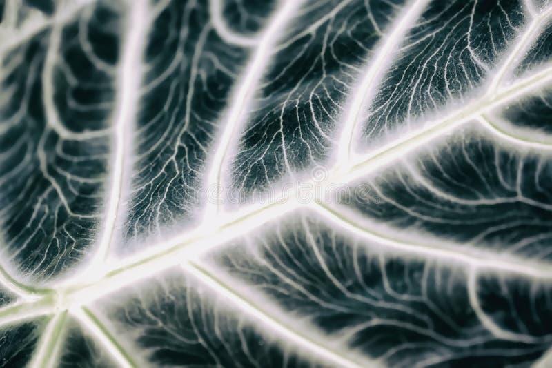 Tropical decorativ plant foliage, Macro photo of leaf, natural pattern, exotic botanical background, selective focus. Tropical decorativ plant foliage, close-up royalty free stock image