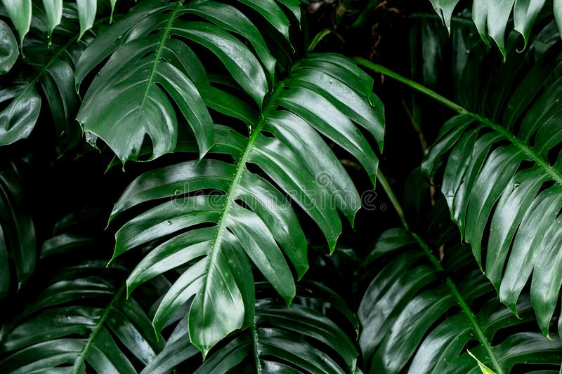 Tropical deep forest leaves jungle leaves green plant stock photo