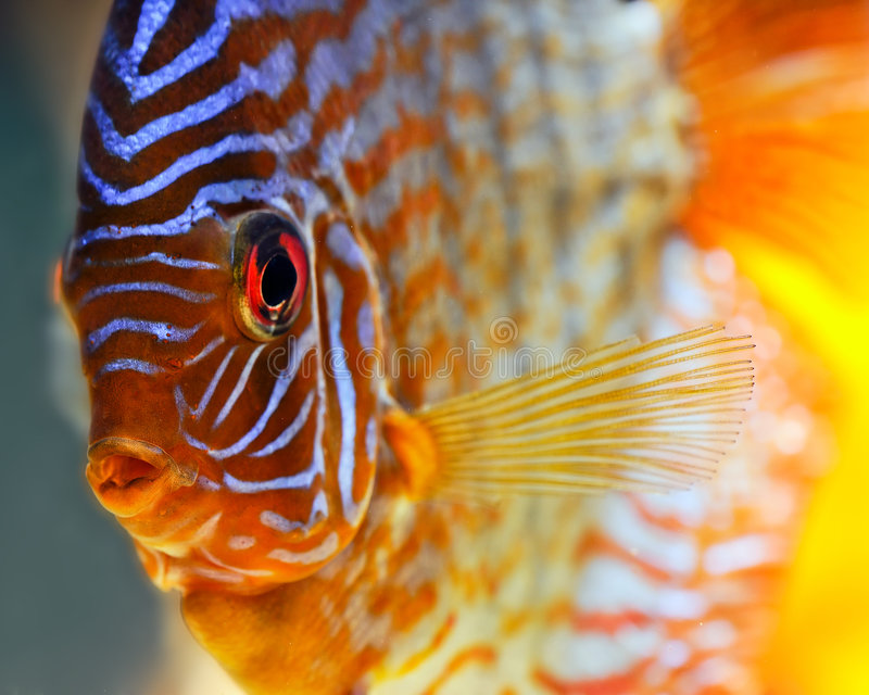 Tropical discus fish. Close up a colorful tropical discus fish
