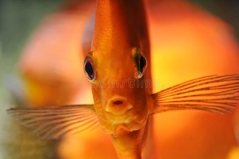 Tropical discus fish stock photo