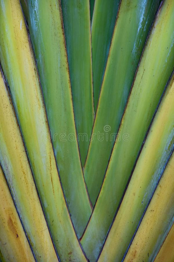Tropical Fan Palm stock photography