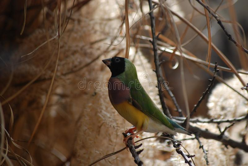 Tropical Female Gouldian Finch stock image