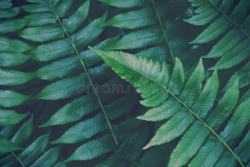 Tropical Fern Foliage Leaves in Dark Green Color Natural Texture Background stock images