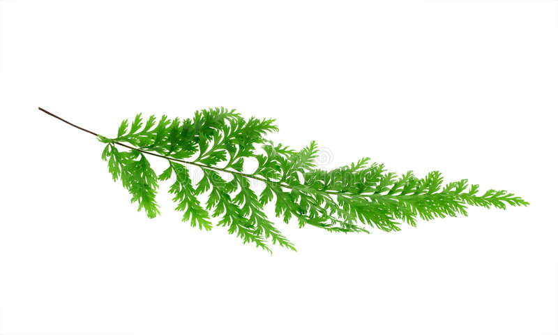 Download Tropical fern leaf stock photo. Image of leaf, tropical - 6872020