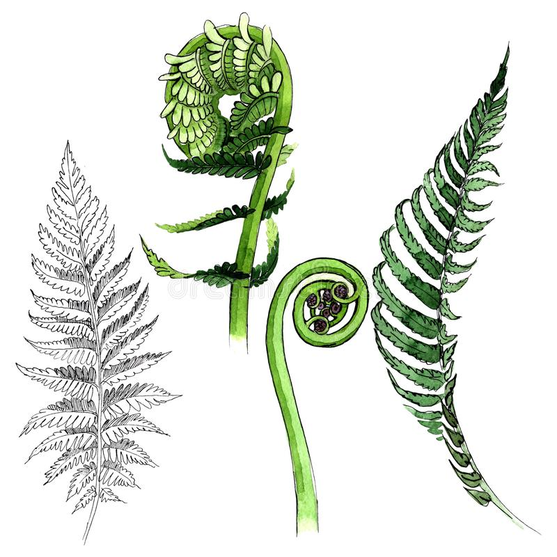 Tropical fern leaves in a watercolor style isolated. vector illustration