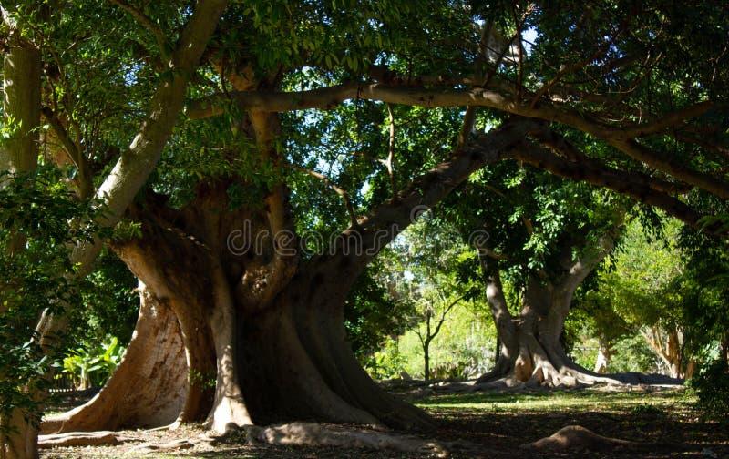 Tropical ficus trees in botanical garden in Miami stock photos