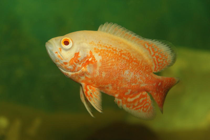 Download Tropical Fish Royalty Free Stock Photos - Image: 13746218