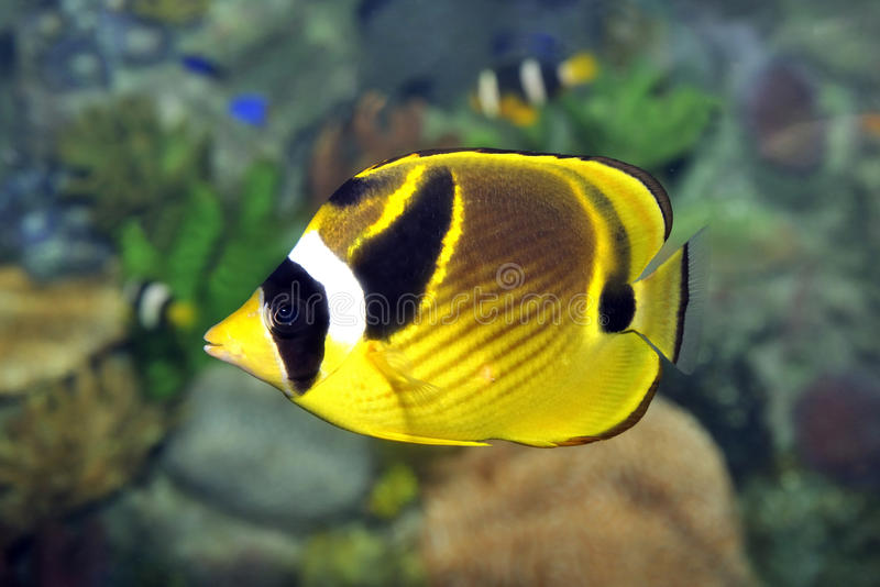 Download Tropical fish stock image. Image of yellow, colourful - 16322703