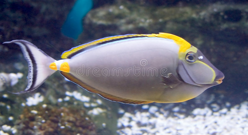Tropical Fish 18 royalty free stock images