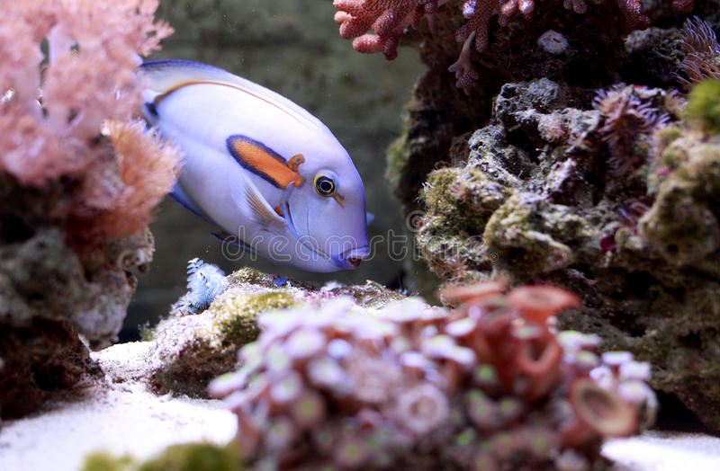 Download Tropical fish stock image. Image of live, anemonefish - 21306027
