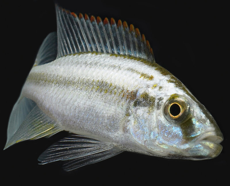 Download Tropical fish stock image. Image of tropical, closeup - 2447243