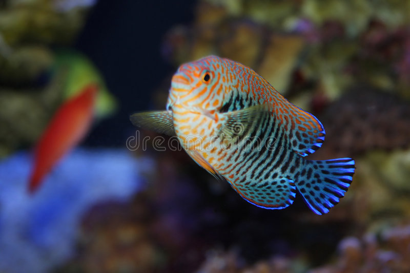 Tropical Fish. A beautifully colored tropical fish taken from outside the glass of an aquarium stock photos
