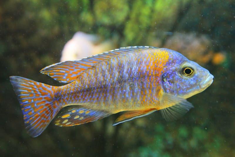 Download Tropical Fish Stock Image - Image: 7131061