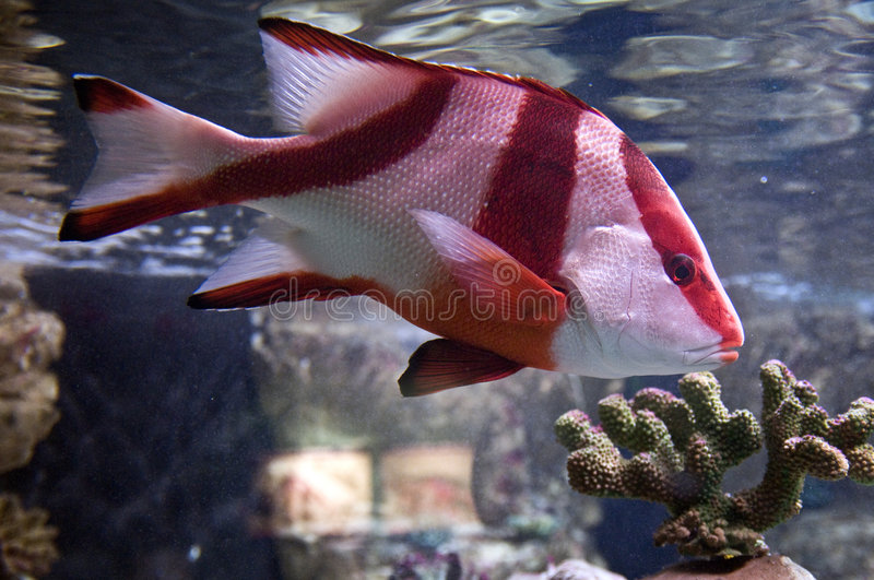 Download Tropical fish stock photo. Image of striped, underwater - 7912134